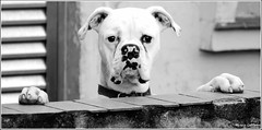 Alguém viu o CARTEIRO? Foto: Marcus Cabaleiro Site: https://marcuscabaleirophoto.wixsite.com/photos  Blog http://marcuscabaleiro.blogspot.com.br/  #marcuscabaleiro #santos #dog #boxer #sp #brasil #imagem #arte #nikon #bw #pb #photographer #brazil #photogr (marcuscabaleiro4) Tags: boxer brazil imagem brasil modeportrait olhares arte nikon pb marcuscabaleiro bw photographer dog sp photography santos