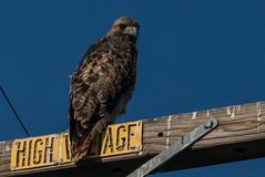 Danger Hawk (MelRoseJ) Tags: lodi california unitedstates us sonyalpha sony sonyilca77m2 a77ii alpha sal70200g nature northerncalifornia birds redtailedhawk hawk