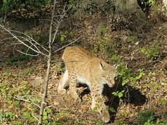 Parc Animalier de Sainte-Croix - Octobre 2018 (Valerie Hukalo) Tags: lynx bobcat valériehukalo hukalo france lorraine moselle rhodes parcanimalier pasc faunesauvage faune automne parcanimalierdesaintecroix