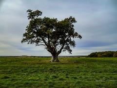 On the trail of the lonesome oak (Oxford Murray) Tags: rambling cotswolds begbroke oxfordshire oxfordmurray walking field oaktree countryside beautiful