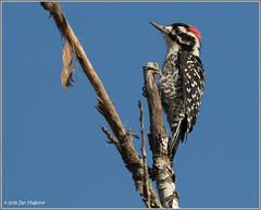 Nuttall's Woodpecker 2659 (maguire33@verizon.net) Tags: nuttallswoodpecker pradoregionalpark bird male wildlife woodpecker chino california unitedstates us