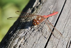 Dragonfly (Hugo von Schreck) Tags: hugovonschreck dragonfly libelle macro makro insect insekt canoneos5dsr tamron28300mmf3563divcpzda010