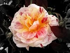 Rosa variegata (Orto Botanico - Palermo) (dona(bluesea)) Tags: rosa rose tristezza sadness ortobotanico botanicalgarden palermo sicilia sicily