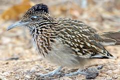 Roadrunner (Ed Sivon) Tags: america canon nature lasvegas wildlife wild western southwest desert clarkcounty vegas flickr bird henderson nevada preserve