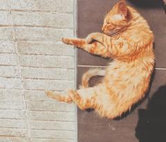 Sunbathing cat (jarakaye) Tags: cat sleep casablanca morocco