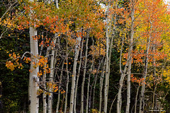 Autumn as the Seasons Change (Striking Photography by Bo Insogna) Tags: colorful orange red yellow colors rockymountain highcountry autumn fall aspentrees foliage leaves forest wilderness trees woods nature landscapes colorado travel scenery scenic photography ward unitedstates coloradonaturelandascapes coloradolandscapes jamesinsogna