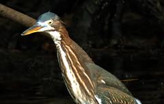 Green Heron, Butorides virescens (asterisktom) Tags: trippanamacostarica2018 2018 panama september bocasdeltoro bird vogel ave 鸟 птица 鳥 pajaro greenheron butoridesvirescens heron