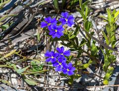 Wildflowers at the lake (blair.levia) Tags: australia lakegnangara westernaustralia westernaustraliannativeflora westernaustralianwildflowers landscapes colours native perth