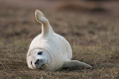 Dan Ransley (BBC Springwatch) Tags: britain danransleyphotography danransleynet donnanook england halichoerusgrypus lincolnshire uk animal beach coast greyseal mammal nature pinniped seal wildlife