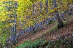 Bosque abedules otoño (VILO Image) Tags: pejanda cantabria bosque otoño