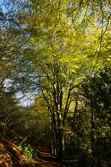 Beech tree on Collyers Hanger, Surrey, 2 (Leimenide) Tags: north downs england autumn leaves beech tree collyers hanger surrey chilworth