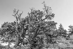 20180921 Bryce Canyon-0026.jpg (Mark Harshbarger Photography) Tags: nationalpark brycecanyon utah hoodoos bw tree redrocks canyon