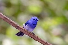 Black-naped Monarch .male ..Kaeng Krachan national park (geolis06) Tags: geolis06 asia asie thaïlande kaengkrachannationalpark nature rainforest forêt forest nikon nikond7200 sigma150600mmf563contemporary hypothymisazurea gobemouche azuréblacknaped blue flycatchertchitrec monarchnaturenature thailandeoiseaux thaîlande