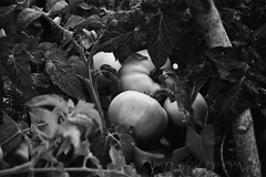 Tomatoes 1 (LongInt57) Tags: tomato food plant garden growing gardening leaf leaves fruit vegetable bw monochrome black white grey gray kelowna bc canada okanagan stake