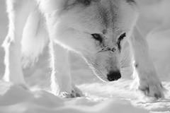 '' Mahikan '' 01/15 (camel.arnaud) Tags: loup wolf timber grey arctique arctic blackandwhite black white bw noir blanc observation centre québec canada hiver winter mahikan sony sigma mc11