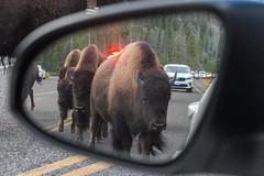 2018-09-trip-3-yellowstone-4-wildlife-mjl-30 (Mike Legeros) Tags: wyoming yellowstone nationalpark bison bisonjam buffaloroam