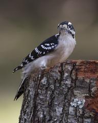 Downy Woodpecker, female (AllHarts) Tags: femaledownywoodpecker backyardbirds memphistn naturesspirit thesunshinegroup