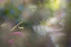 Mantis religiosa (Thomas Vanderheyden) Tags: mantisreligiosa mantereligieuse insect insecte dictyoptère nature beautifulearth macro proxi thomasvanderheyden fujifilm tamron90mm colors couleur bokeh
