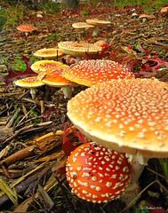 Amanita muscaria (CanMan90) Tags: amanitamuscaria mushrooms fall autumn leaves closeup cans2s canon powershotsd1200is pointshoot uvic university victoria britishcolumbia vancouverisland workplace