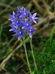 Blue sun orchid - Thelymitra macrophylla. (Maureen Pierre) Tags: thelymitramacrophylla bluesunorchid native westernaustralia wildflower flower wirelesshill perth