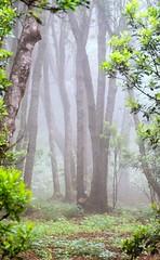 Fog / Niebla (López Pablo) Tags: fog tree leaf green white forest elhierro canary islands spain nikon d7200 nature