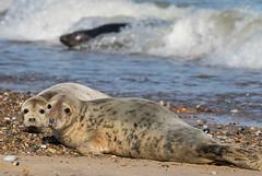 Grey Seal Pups (BushmanW12) Tags: seal pups horsey norfolk wildlife nature beach
