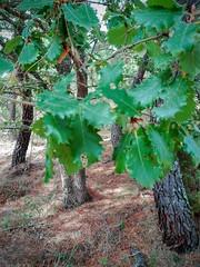 Roble pubescente (Quercus pubescens) (quintanAopio) Tags: árbol silvestre autóctono caderechas bureba burgos