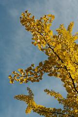 golden ginkgo (Light Orchard) Tags: tree trees leaves leaf berlin germany deutschland autumn fall ©2018lightorchard bruceschneider