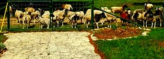 Bleat and Greet (austexican718) Tags: sheep ranch farm rural centraltexas hillcountry animal gillespiecounty texas