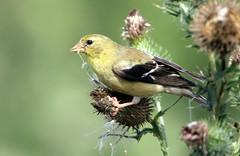 Chardonneret (Marie-Helene Levesque) Tags: oiseau abitibi valdor eastsullivan east chardonneret mariehélène mariehelene