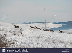 photo of deer running on snowy planes (F Csaba) Tags: animal background beauty deer herbivore mammal nature outdoors plane europe snow white wildlife winter