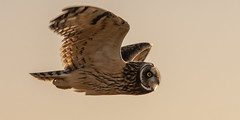 Short-eared Owl (Steve D'Cruze) Tags: bird short eared owl asio flammeus nikon d500 backlit sigma 150600mm