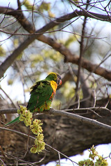Pensive parakeet (Paul Threlfall) Tags: rainbowlorikeet trichoglossushaematodus bird tree sky colourful parrot ruffled feathers spring seeds