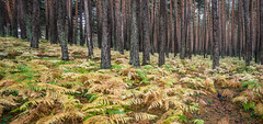 Pines & ferns (Ignacio Ferre) Tags: pino helecho fern pine landscape paisaje panorama autumn otoño fall nikon españa spain segovia sierradeguadarrama bosque forest árbol tree sanildefonso