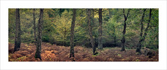 Woodland Panoramic (Nigel Morton) Tags: epping forest essex woodland pano panoramic sunlight dawn morning landscape autumn fall bracken colours