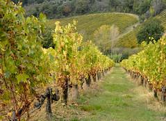 Vigne ancora non proprio gialle (antonella galardi) Tags: toscana siena poggibonsi 2018 autunno vigna vigneto filari castellina fizzano