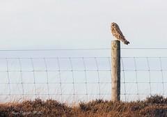 Shorty on lookout. ( Explored.) (nondesigner59) Tags: asioflammeus shortearedowl post wildlife predator nature copyrightmmee eos7dmkii nondesigner nd59
