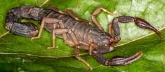 3/4 view (ScreaminScott) Tags: scorpion arachnid