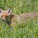Vixen in the high grass