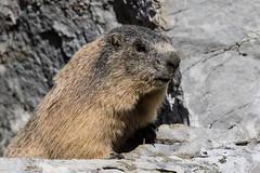 Ausblick (KevinBJensen) Tags: mjkphoto timefornature time for nature murmel murmeltier marmot natur tier animal wildlife ausblick felsen rock portrait