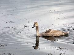 Swan (Deanne Wildsmith) Tags: swan bird chasewater staffordshire earthnaturelife