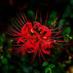Red  spider lily (Lycoris radiata) : ヒガンバナ(彼岸花) thumbnail