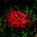 Red  spider lily (Lycoris radiata) : ヒガンバナ(彼岸花)