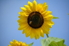 Sunflower and blue sky (Jodi Altringer) Tags: sunflower sky garden insects bee