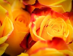 Vibrant (judy dean) Tags: 2018 orange judydean 35mm roses vibrant