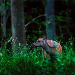 Deer in Dyrehaven (ibjfoto) Tags: danmark deer denmark dyrehaven forest ibjensen ibjfoto natur sealand sjælland animals rådyr