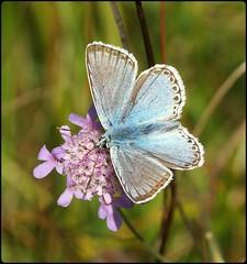 Male Chalkhill Blue on Field Scabious (glostopcat) Tags: chalkhillbluebutterfly butterfly insect invertebrate macro summer august glos wildflower fieldscabious butterflyconservation prestburyhillnaturereserve