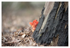 Life is colour _ 2 (leo.roos) Tags: mushroom mushrooms fungus fungi paddenstoel paddestoel paddenstoelen paddestoelen schimmel schimmels zwam zwammen red rood bos dead dood wood hout hyacintenbos denhaag thehague swirly branch tak tree boom stam trunk a7 iscogöttingenduotar8515 projectorlens projectionlens darosa leoroos