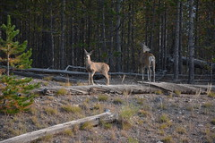 Yellowstone 2107 (mart.panzer) Tags: wyoming wy us usa nationalpark nature scenic top highlights attractions must see awesome best bestof landscape elk bison yellowstone bear
