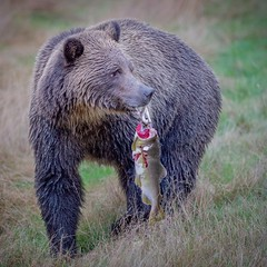 Takeaway (Chris Willis 10) Tags: bears canada surfing vancouver bear animal wildlife brownbear nature mammal carnivore animalsinthewild forest outdoors brown oneanimal large cute fur danger grizzlybear hunting fishing salmon